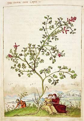 Fumewort (fumaria Sp.) Poster