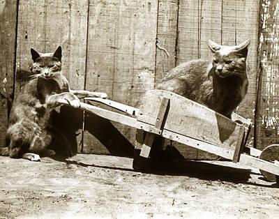 Poster featuring the photograph Fun With Cats Henry King Nourse Photographer Circa 1900 by California Views Mr Pat Hathaway Archives