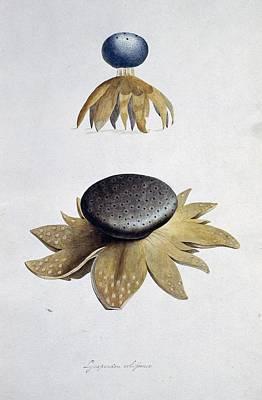 Fungus (lycoperdon Coliforme) Poster