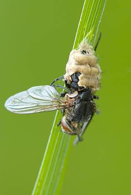 Fungus Parasitising A Fly Poster by Science Photo Library