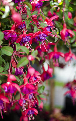 Fuchsia Spilling Over  Poster by Heather Applegate