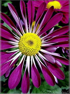Fushia Daisies Blooming Poster by Danielle  Parent