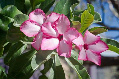 Fushia Oleander Near Phoenx Arizona 2 Poster