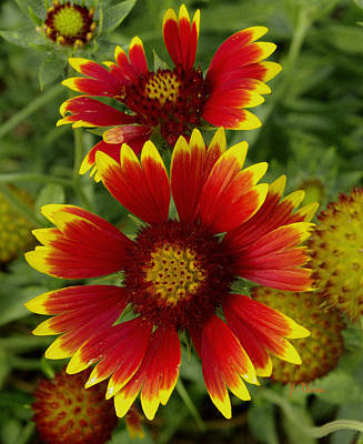 Poster featuring the photograph Gaillardia / Flowers by James C Thomas