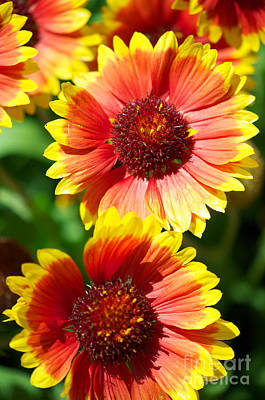 Poster featuring the photograph Gaillardia2x by Vinnie Oakes
