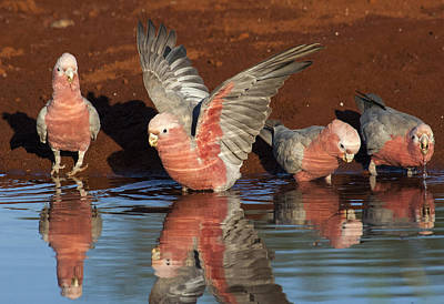 Galahs Drinking Western Australia Poster by D. Parer & E. Parer-Cook