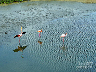 Galapagos Flamingoes Artwork Poster by Al Bourassa