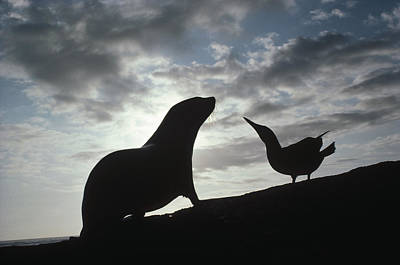 Galapagos Fur Seal Pup And Blue-footed Poster by Tui De Roy