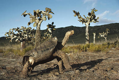 Galapagos Giant Tortoise And Opuntia Poster by Tui De Roy