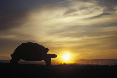 Galapagos Giant Tortoise At Sunrise Poster by Tui De Roy