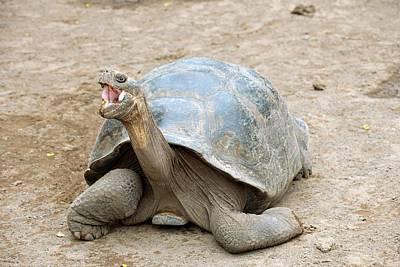 Galapagos Giant Tortoise Poster by Bildagentur-online/mcphoto-schulz