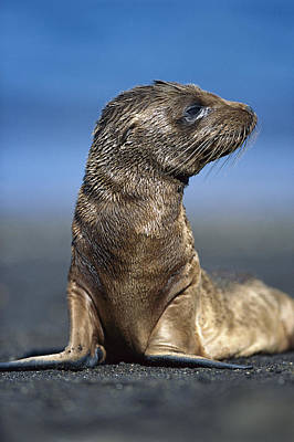 Galapagos Sea Lion Pup Awaiting Mothers Poster by Tui De Roy