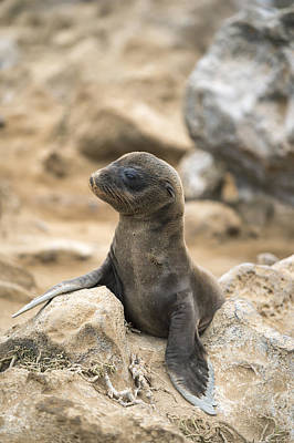 Galapagos Sea Lion Pup Champion Islet Poster by Tui De Roy