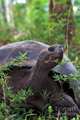 Galapagos Tortoise Poster by Mark Newman