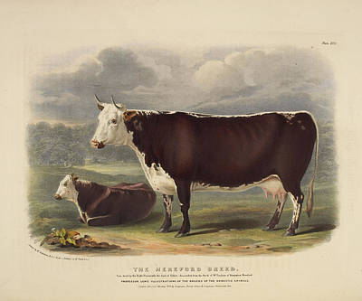 Galloway Breed Poster