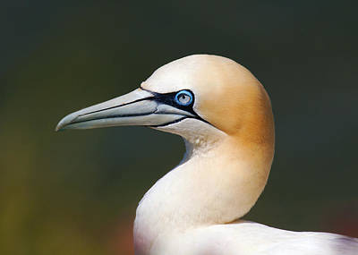 Poster featuring the photograph Gannet by Paul Scoullar