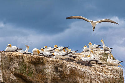 Gannets New Zealand Poster by Colin and Linda McKie