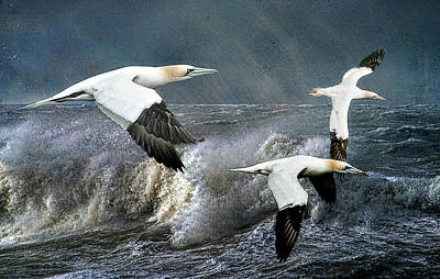 Poster featuring the photograph Gannets Skimming The Waves by Brian Tarr