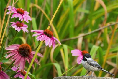 Garden Birds Chickadee Poster