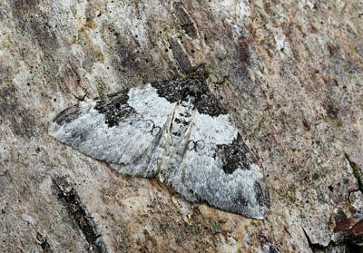 Garden Carpet Moth Poster by Nigel Downer