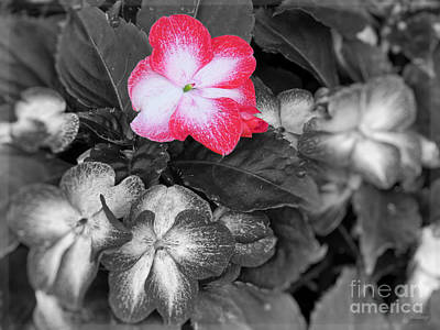 Garden Floral Art Impatiens 3 Bw Show Off Poster by Ella Kaye Dickey