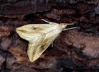 Garden Pebble Moth Poster by Nigel Downer