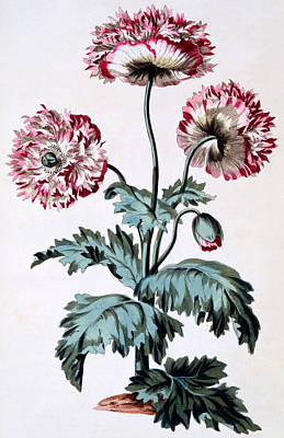 Garden Poppy With Black Seeds Poster by John Edwards