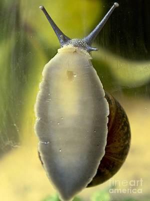 Garden Snail Climbing On Glass Poster by Ian Gowland