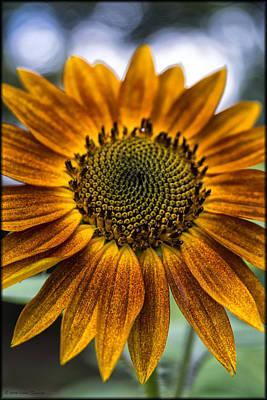 Garden Sunflower Poster