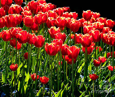 Gardenful Of Red Tulips Poster by Melody Watson