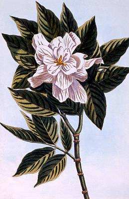 Gardenia G Augusta Poster by Pierre Joseph Buchoz