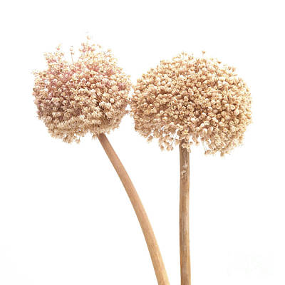 Garlic Flower Poster by Bernard Jaubert