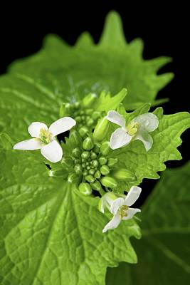 Garlic Mustard Flowers Poster by Peggy Greb/us Department Of Agriculture