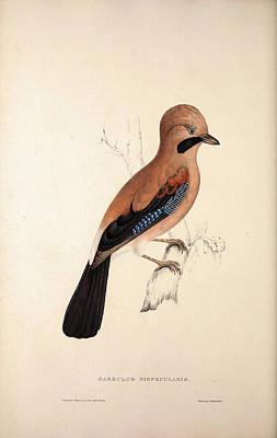 Garrulus Bispecularis, Himalayan Jay. Birds Poster