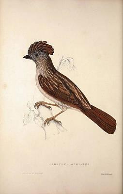 Garrulus Striatus, Striated Laughingthrush. Birds Poster