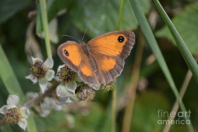 Poster featuring the photograph Gatekeeper Butteryfly by Scott Lyons