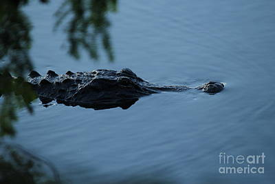 Gator On The Prowl Poster by Theresa Willingham