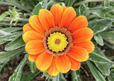 Gazania 'frosty Kiss' Flower Poster