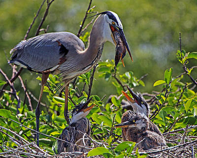 Great Blue Heron Lunch Alfresco Poster