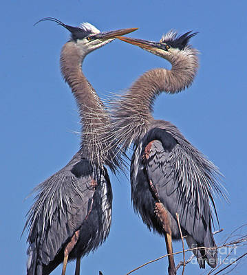 Great Blue Heron The Face Off Poster