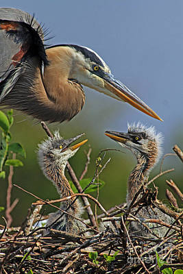Great Blue Heron Twins Poster