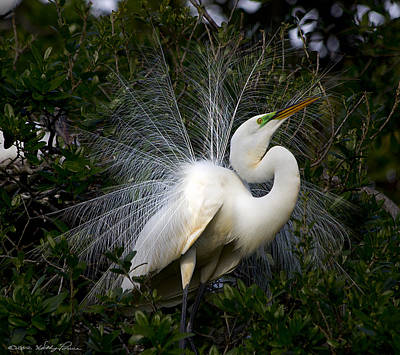 Poster featuring the photograph Geat Egret Mating Dance I by Kathy Ponce