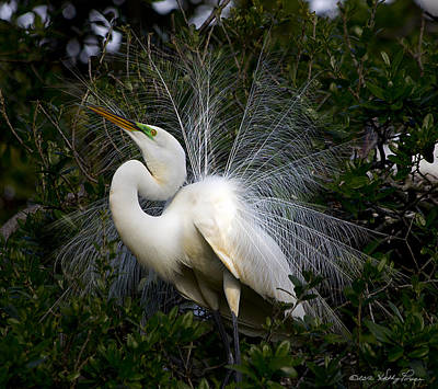 Poster featuring the photograph Geat Egret Mating Dance II by Kathy Ponce
