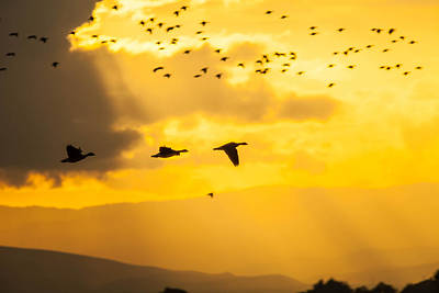 Geese At Sunset-2 Poster