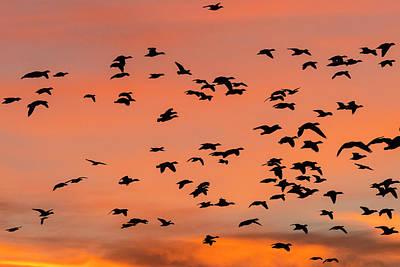 Geese Flying Before Dawn Poster by Maresa Pryor