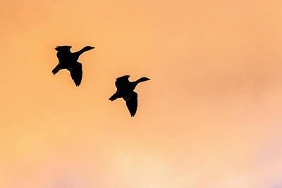 Geese Flying, Bosque Del Apache Poster by Maresa Pryor