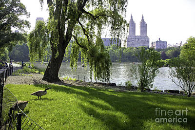 Geese In Central Park Nyc Poster