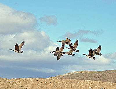 Poster featuring the photograph Geese In Flight by Lula Adams