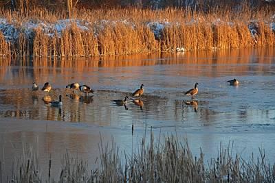 Geese In Wetlands Poster