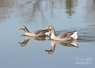 Geese On The Yakima River  Poster by Carol Groenen